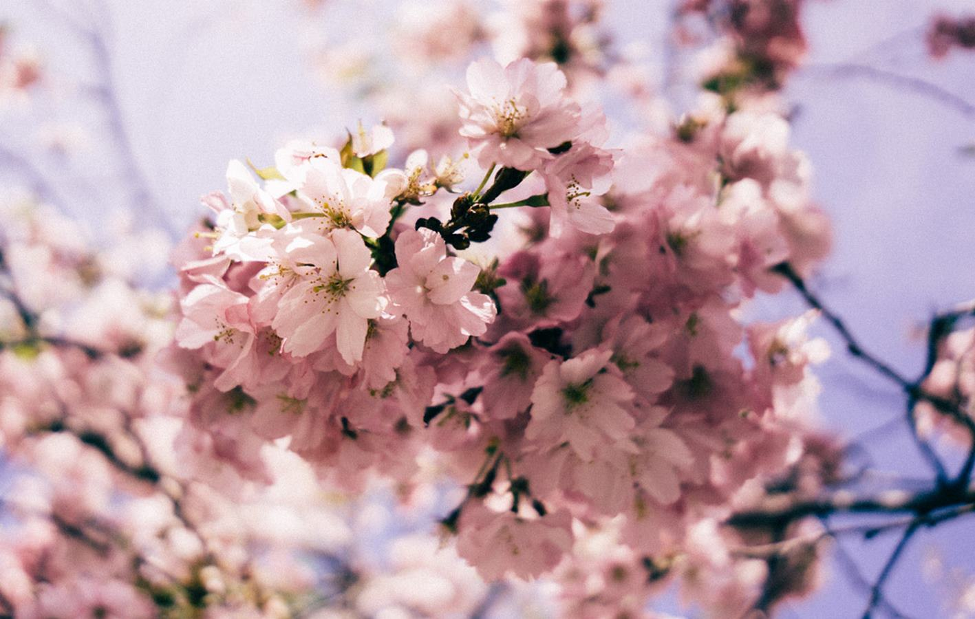 Top 5 Cherry Blossom Festivals